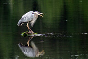 Open Mouthed Heron