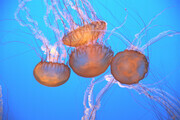 Pacific Jellys